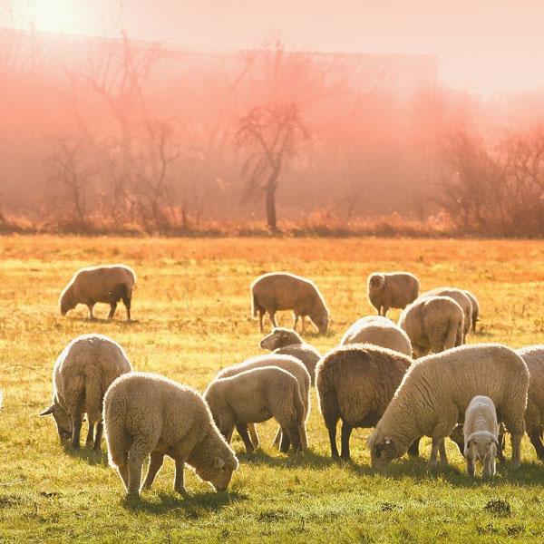 Шерсть из овец